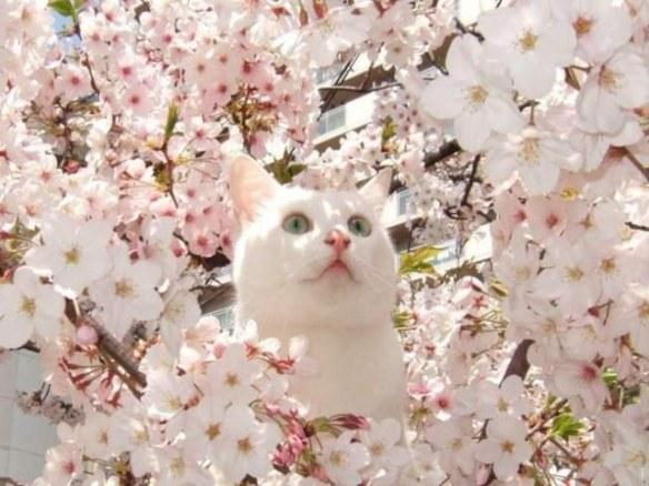 hanami-cat